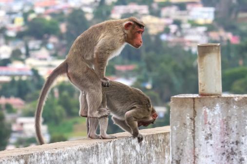 Dethan Punalur「Bonnet Monkeys (Macaca radiata) mating」:スマホ壁紙(9)