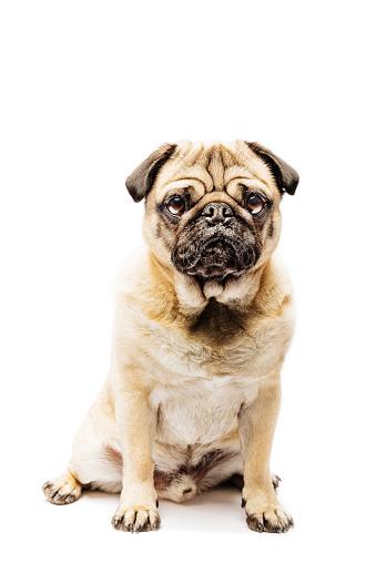 Canine「Cute Grumpy Pug Posing For The Camera」:スマホ壁紙(17)