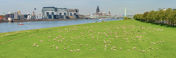 Eating「Germany, Cologne, view to the city with Rhine River and flock of shep on Poller Wiesen in the foreground」:スマホ壁紙(8)
