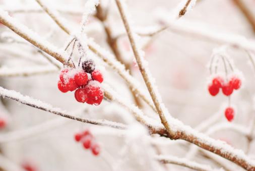 Rowanberry「Red rawanberry in winter」:スマホ壁紙(8)