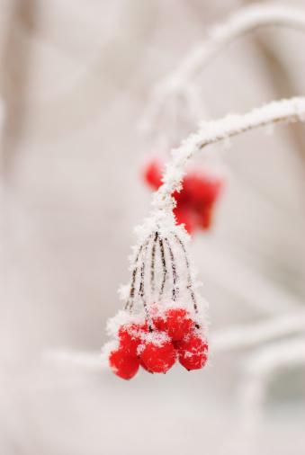 Rowanberry「Red rawanberry in winter」:スマホ壁紙(9)