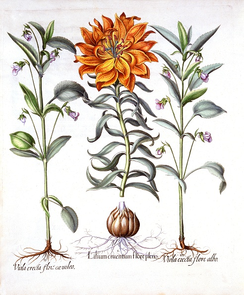 Violet - Flower「Fire Lily And Viola」:写真・画像(11)[壁紙.com]