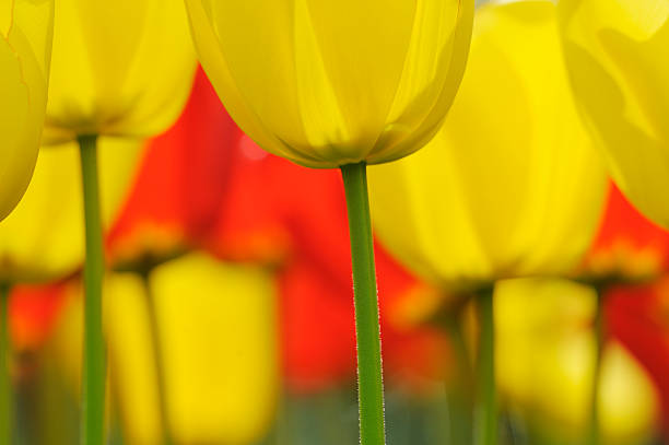 Tulips in spring, close-up, selective focus:スマホ壁紙(壁紙.com)