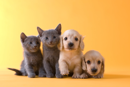子猫「Two Russian Blue Kittens and Two Dachshund Puppies」:スマホ壁紙(4)