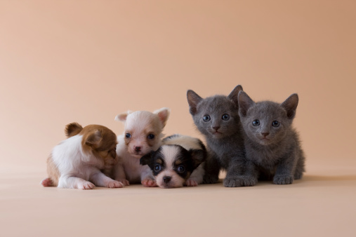 Kitten「Two Russian Blue Kittens and Three Chihuahua Puppies」:スマホ壁紙(10)