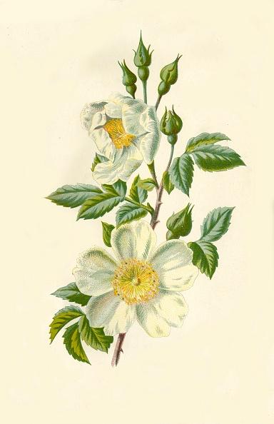 静物「Field Rose」:写真・画像(3)[壁紙.com]