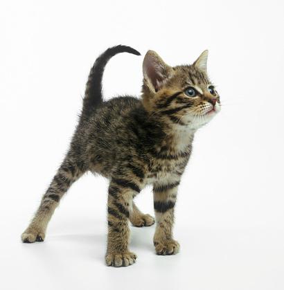 Kitten「Kitten arching back, close up」:スマホ壁紙(9)
