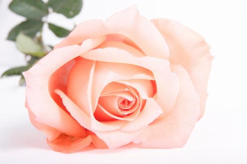 薔薇「ピンクローズのクローズアップ」:スマホ壁紙(2)