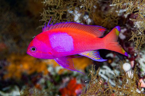 Soft Coral「Male Squarespot Anthias Pseudanthias pleurotaenia in Black Corals, Palau, Micronesia」:スマホ壁紙(13)