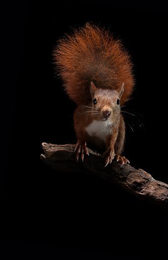 Squirrel「Sciurus vulgaris (Eurasian red squirrel)」:スマホ壁紙(10)