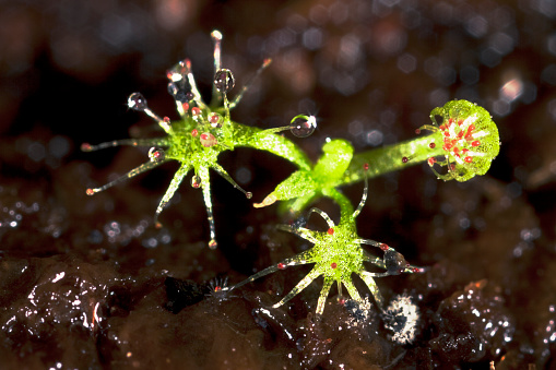 The Nature Conservancy「Actual size 3:1 seedling in fenland / Close-up of a very small Roundleaved Sundew (Drosera rotundifolia) in marshland - Bavaria/Germany」:スマホ壁紙(18)
