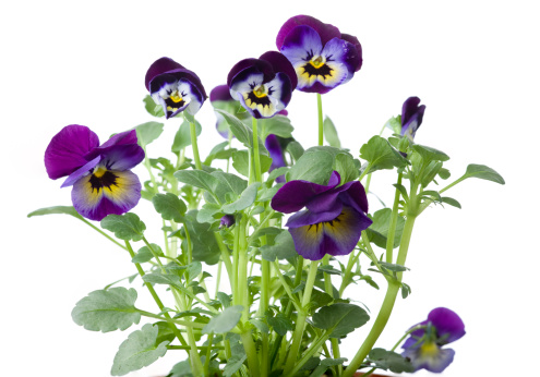 Ornamental Garden「Tricolor pansies on white background」:スマホ壁紙(12)