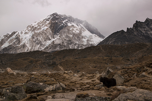Khumbu Glacier「Yak with mountain backdrop, Lobuche, Everest Base Camp Trek, Nepal」:スマホ壁紙(9)