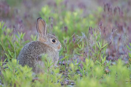 うさぎ「Young Cottontail Rabbit (sylvilagus) sitting among grass, Lincoln County, Wyoming, USA」:スマホ壁紙(15)