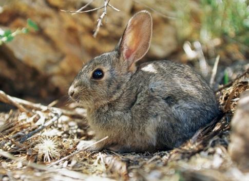 うさぎ「Young Cottontail Rabbit」:スマホ壁紙(4)
