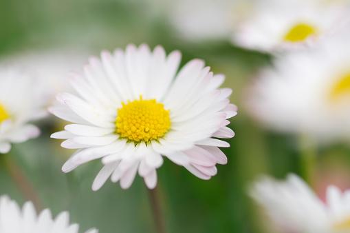 flower「Daisy (Bellis perennis) close up.」:スマホ壁紙(11)