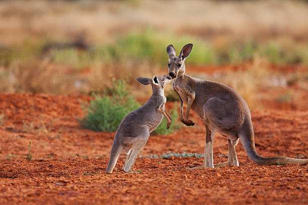 A female red kangaroo holds her juvenile joey while he reaches up for her:スマホ壁紙(壁紙.com)