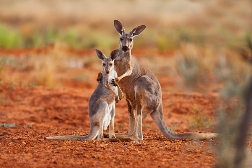 Weakness「A female red kangaroo holds her juvenile joey while he reaches up for her」:スマホ壁紙(8)