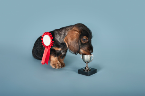 Success「Dachshund puppy with a rosette and trophy」:スマホ壁紙(6)