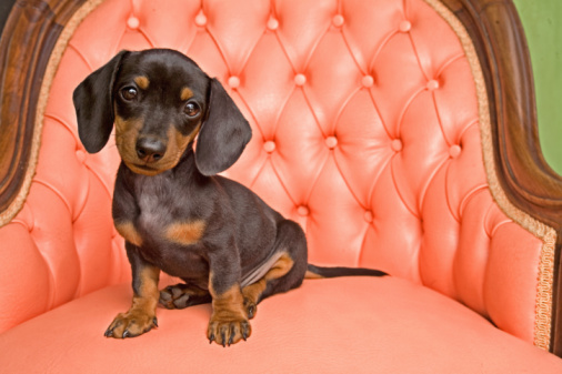 Baby animal「Dachshund Puppy」:スマホ壁紙(12)