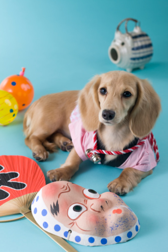 お祭り「Dachshund Puppy and Summer Festival」:スマホ壁紙(8)