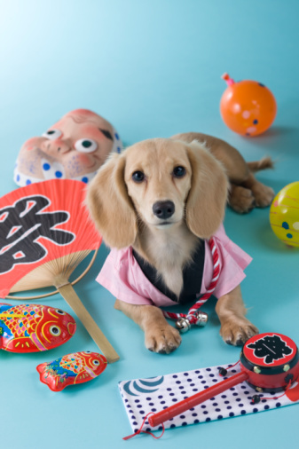 お祭り「Dachshund Puppy and Summer Festival」:スマホ壁紙(7)