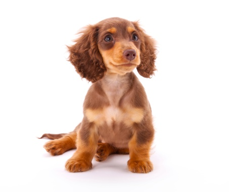 Dachshund「Dachshund Puppy Sitting Down」:スマホ壁紙(13)