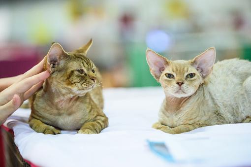 Animal Ear「Two Devon Rex cats」:スマホ壁紙(8)