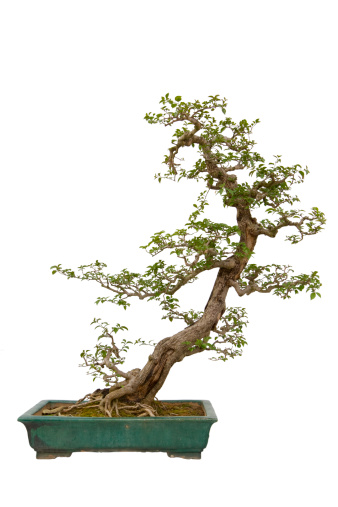 Planting「Paper Flower (Bougainvillea glabra) bonsai」:スマホ壁紙(8)