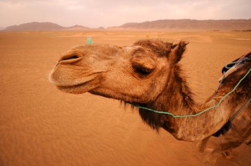 Atlas Mountains「キャメルでサハラ砂漠」:スマホ壁紙(15)