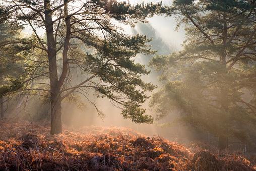 Atmospheric Mood「Sun rays breaking through Scots pines at dawn」:スマホ壁紙(1)