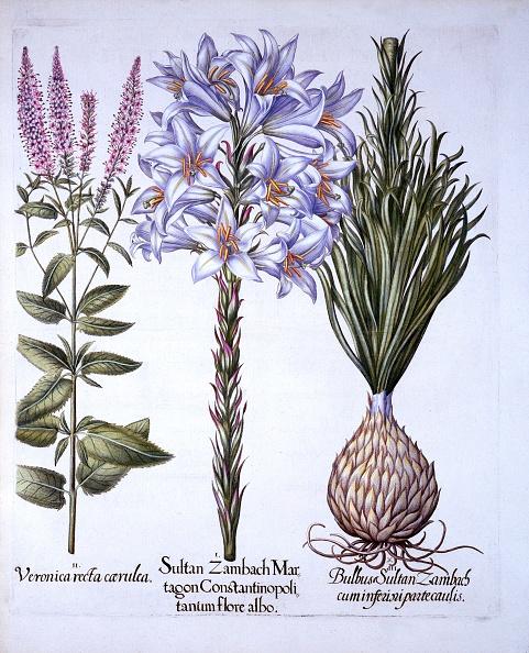 Basil「Sultan Zambach Lily And Bulb」:写真・画像(2)[壁紙.com]