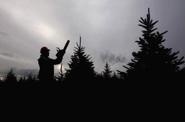 Environmental Issues「Christmas Tree Farmers Enjoy Bumper Harvest」:写真・画像(15)[壁紙.com]