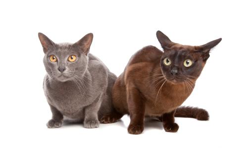 ビルマネコ「two Burmese cats」:スマホ壁紙(1)