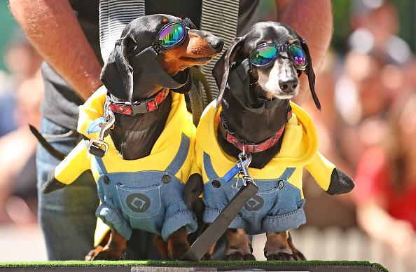 Scott Barbour「Annual Dachshund Race Celebrates Start Of Oktoberfest In Australia」:写真・画像(3)[壁紙.com]