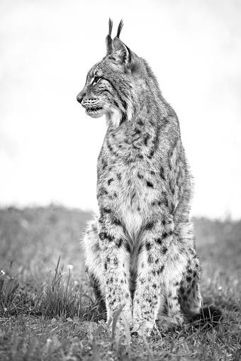 Cantabria「Canada Lynx (Lynx Canadensis) Sits On Grass Looking Sideways」:スマホ壁紙(19)