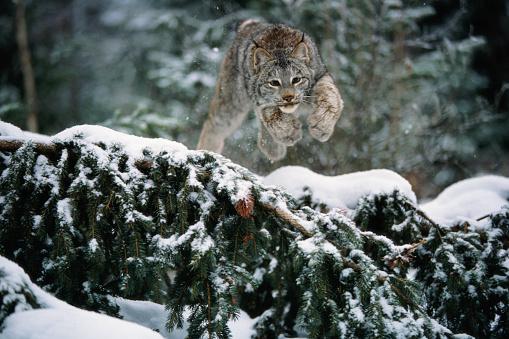 Pouncing「Canada Lynx Pouncing」:スマホ壁紙(9)