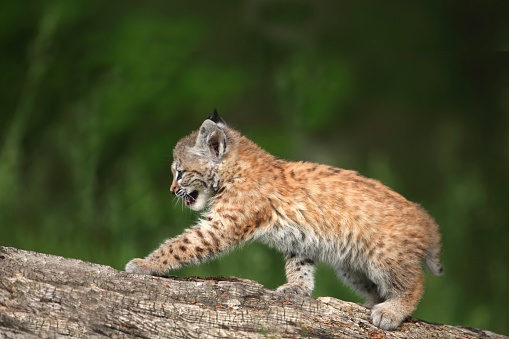 Kitten「Canada lynx (lynx canadensis) kitten playing on a log」:スマホ壁紙(14)