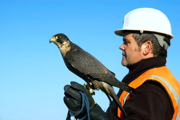 Birds of prey are increasingly being used as a highly efficient and effective means of vermin control They are successfully employed in city centres, airports, football and other sports stadiums, farms & landfill sites They have a growing reputation as t:ニュース(壁紙.com)