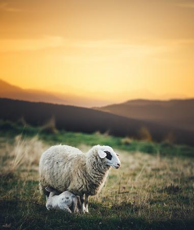 Ewe「Sheep Family」:スマホ壁紙(15)