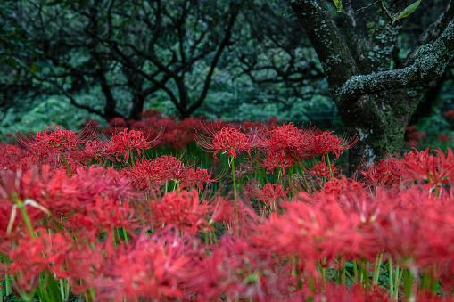 Bestof「Autumn-blooming red spider lilies in Atsugi, Japan」:スマホ壁紙(8)