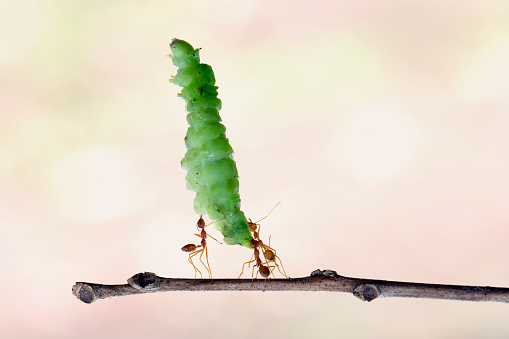Teamwork「Three ants carrying a caterpillar」:スマホ壁紙(11)
