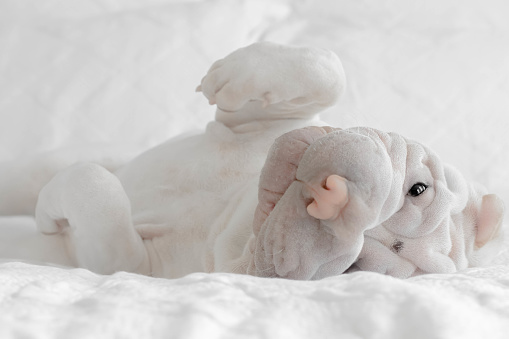 Rolling on Back「Shar-pei puppy rolling around on a bed」:スマホ壁紙(8)