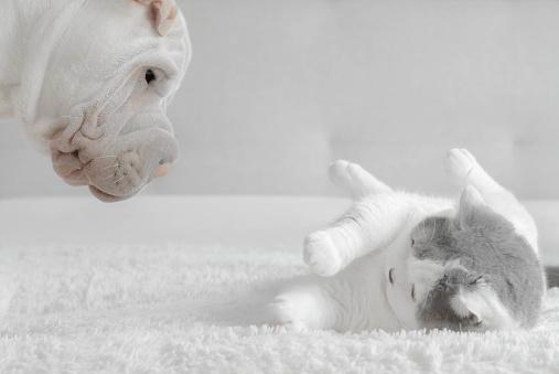 Alertness「Shar-pei puppy playing with a British shorthair cat」:スマホ壁紙(15)