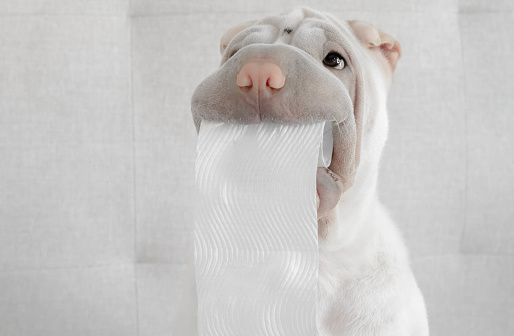 Caught In The Act「Shar-pei puppy dog holding toilet roll」:スマホ壁紙(13)