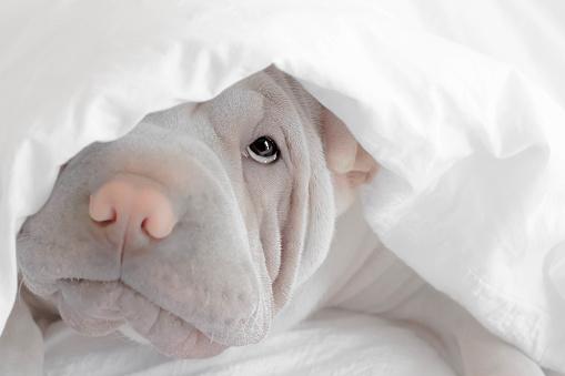 Duvet「Shar-pei puppy dog hiding under a duvet」:スマホ壁紙(17)