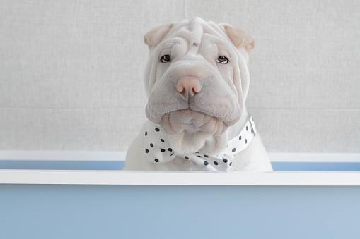 Alertness「Shar-pei puppy dog sitting in a box wearing a bow tie」:スマホ壁紙(14)