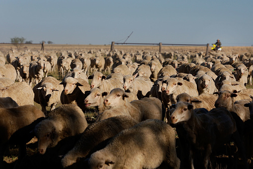 Bestof「Herd of sheep on sheep ranch in Queensland Australia」:スマホ壁紙(6)
