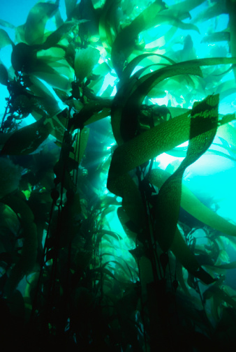 Algae「Giant kelp (Macrocystis pyrifera)」:スマホ壁紙(7)