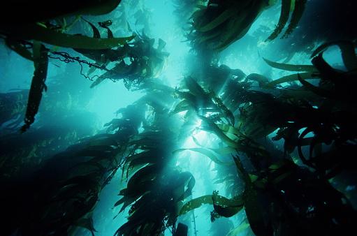 Seaweed「Giant kelp (Macrocystis pyrifera) forest, low angle view」:スマホ壁紙(4)